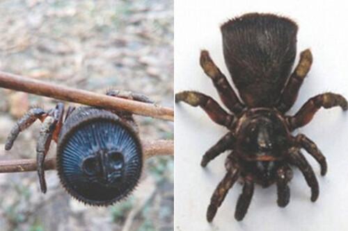 Une araignée très rare filmée en chine : Hourglass Spider