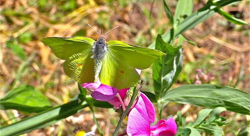 Les papillons de l'été (6)    Le citron (Gonopteryx rhamni )
