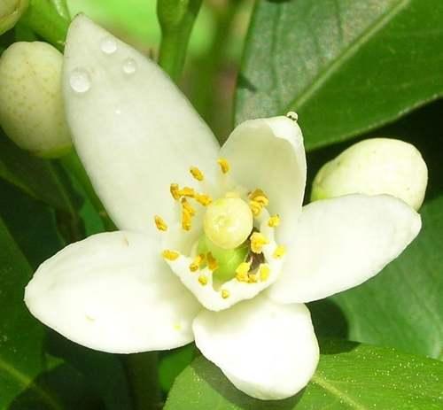 Vertus Médicinales des légumes et des fruits : Oranger doux et Bigaradier