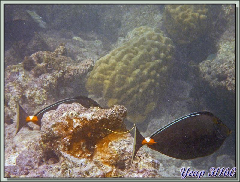 Nason à éperons orange (Naso lituratus) - Raira Lagon - Atoll de Rangiroa - Tuamotu - Polynésie française