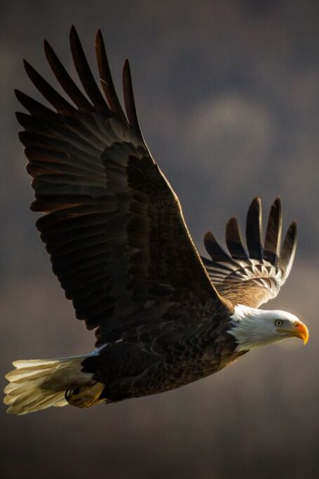 eagle in flight: