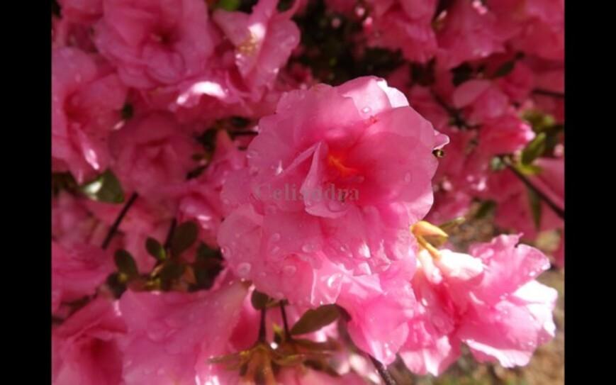 Photos: Azalée rose
