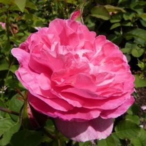 roseraie-david-austin-morienval---england-s-rose--800x800.jpg