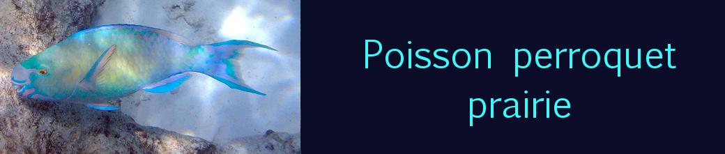 perroquet prairie