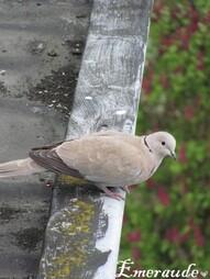 Photo Oiseaux, tourterelle turque - 22.05.11 - 05