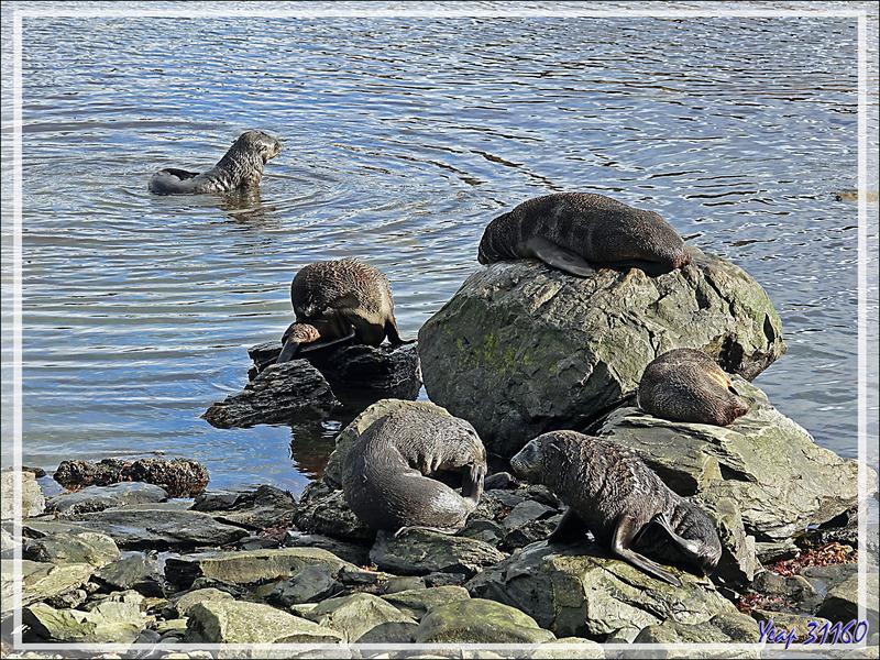 Otaries à fourrure antarctique : pendant que les unes se baignent, les autres font la sieste sur l'herbe - Grytviken - Géorgie du Sud