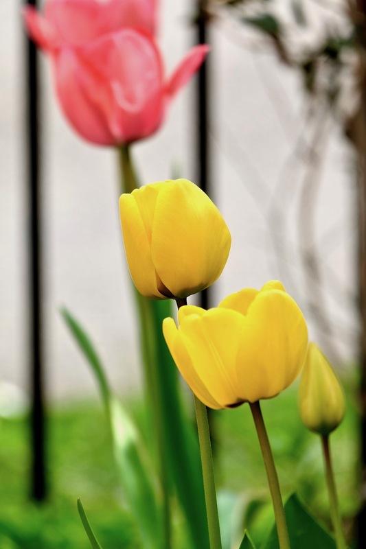 """Tulips""""s show !"""