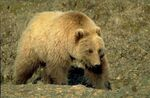 large_grizzly_bear_4171