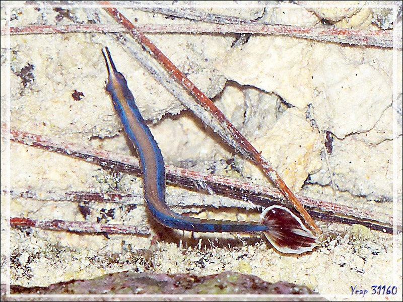 Aiguille de mer à bande bleue, Bluestripe pipefish (Doryrhamphus excisus excisus) - Motu Aito - Fakarava sud - Polynésie française