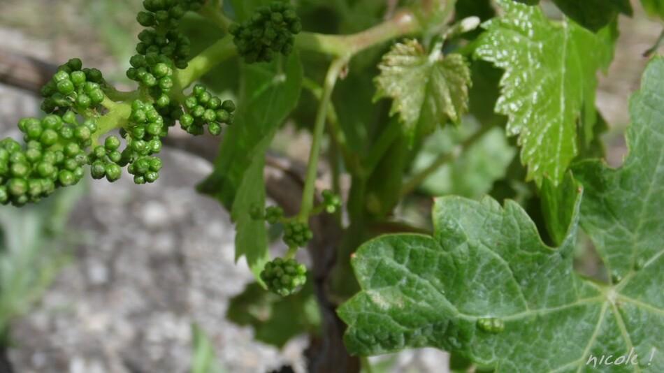Elles s'éveillent vignes et raisins !