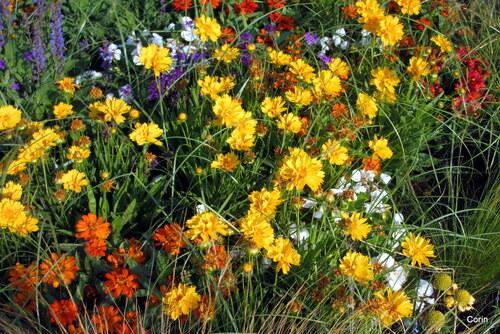 Les belles fleurs jaunes ...