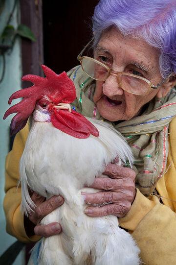 Les poules en couleurs