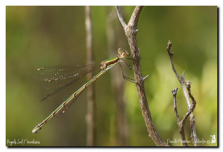Leste verdoyant ♀ (Lestes virens)