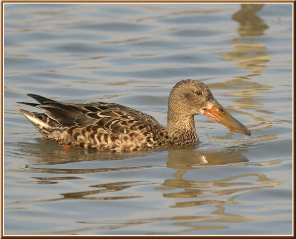 copie-canard-souchet-f-cape