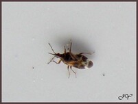Anthocoris nemorum.