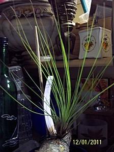 Tilandsia-juncifolia-2.jpg