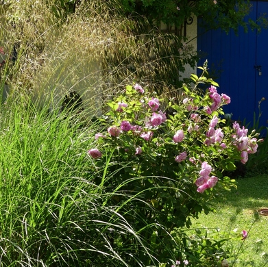 Des Journées de la Rose aux journées de mes roses : L'herbe folle...