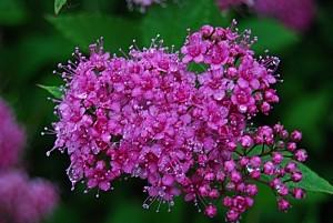 Fleur-de-spirea-jaonica.jpg