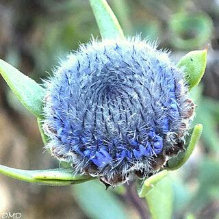 Globularia alypum  -  globulaire alypum