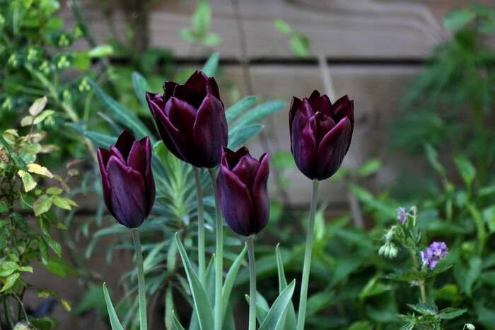 Tulipes 2014 : Havran et ... ?