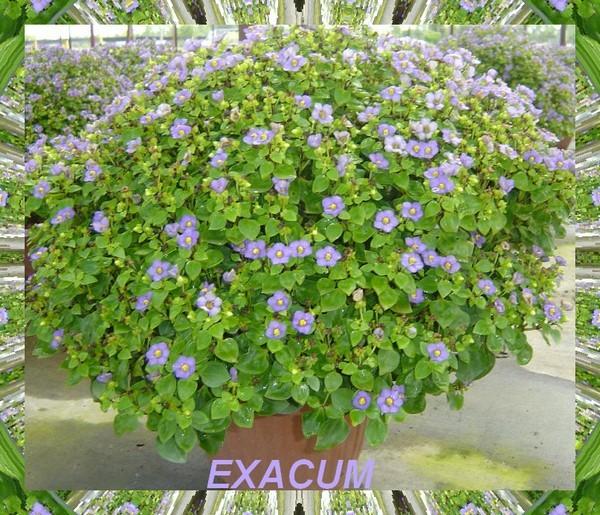 EXACUM2