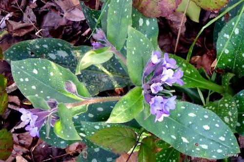 Violettes et pulmonaires