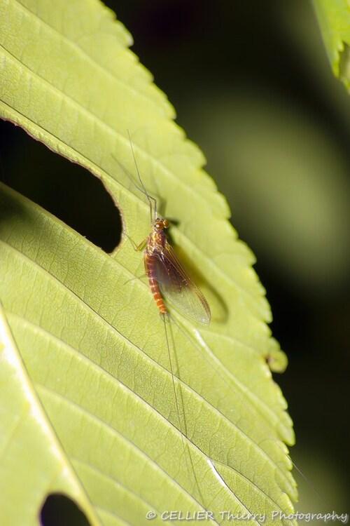 Ephemeres larves et mouches de pêche ...