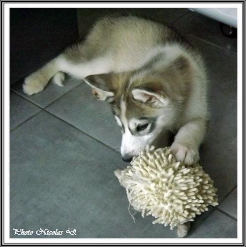 Husky jouets