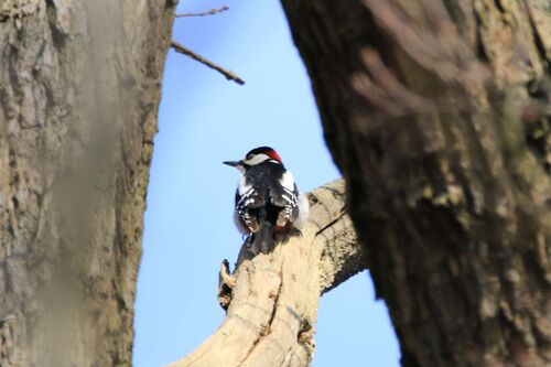 Pic Epeiche (Great Spotted Woodpecker)