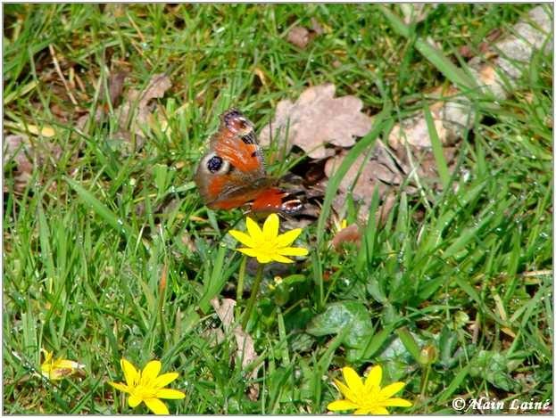 Papillon_Mars08_1