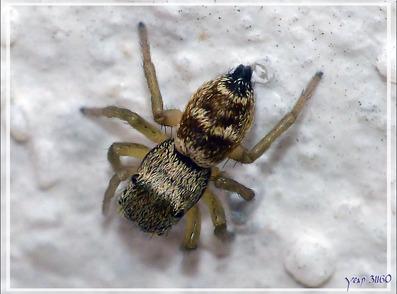 Araignée sauteuse (Heliophanus tribulosus) - Lartigau - Milhas - 31