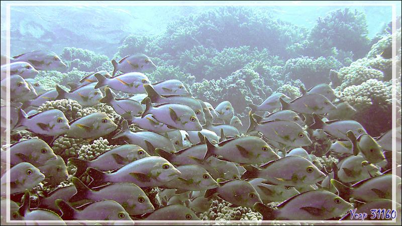 Banc de Vivaneaux ou Lutjans bossus ou Perches pagaies, Humpback red snappers (Lutjanus gibbus) - Tumakohua (passe sud) - Atoll de Fakarava - Tuamotu - Polynésie française