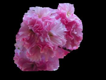 Tubes fleurs de pommier et cerisier du Japon Kazan