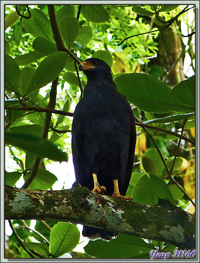 Blog de images-du-pays-des-ours : Images du Pays des Ours (et d'ailleurs ...), Buse noire ( Buteogallus anthracinus) - Parque Nacional Cahuita - Puerto Viejo Talamanca, Costa Rica