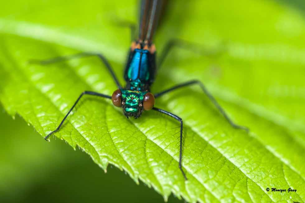 Tête de libellule de Calopteryx vierge