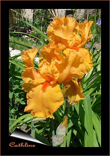 nouvel-iris--jaune-orange.jpg