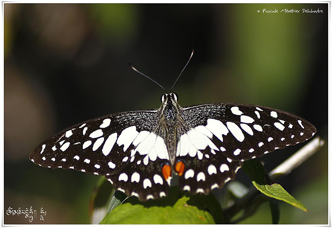 Voilier échiquier (Papilio demoleus) - Papilionidae