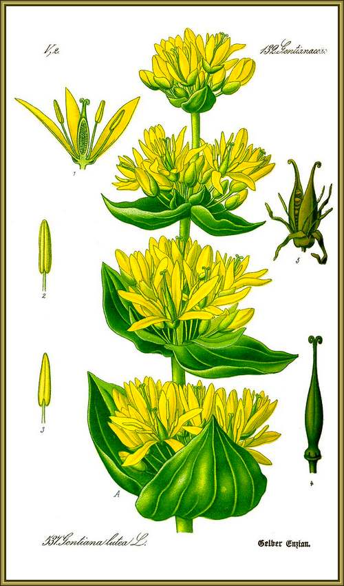 Vertus médicinales des plantes sauvages : Gentiane jaune