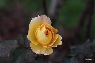 roses 9128