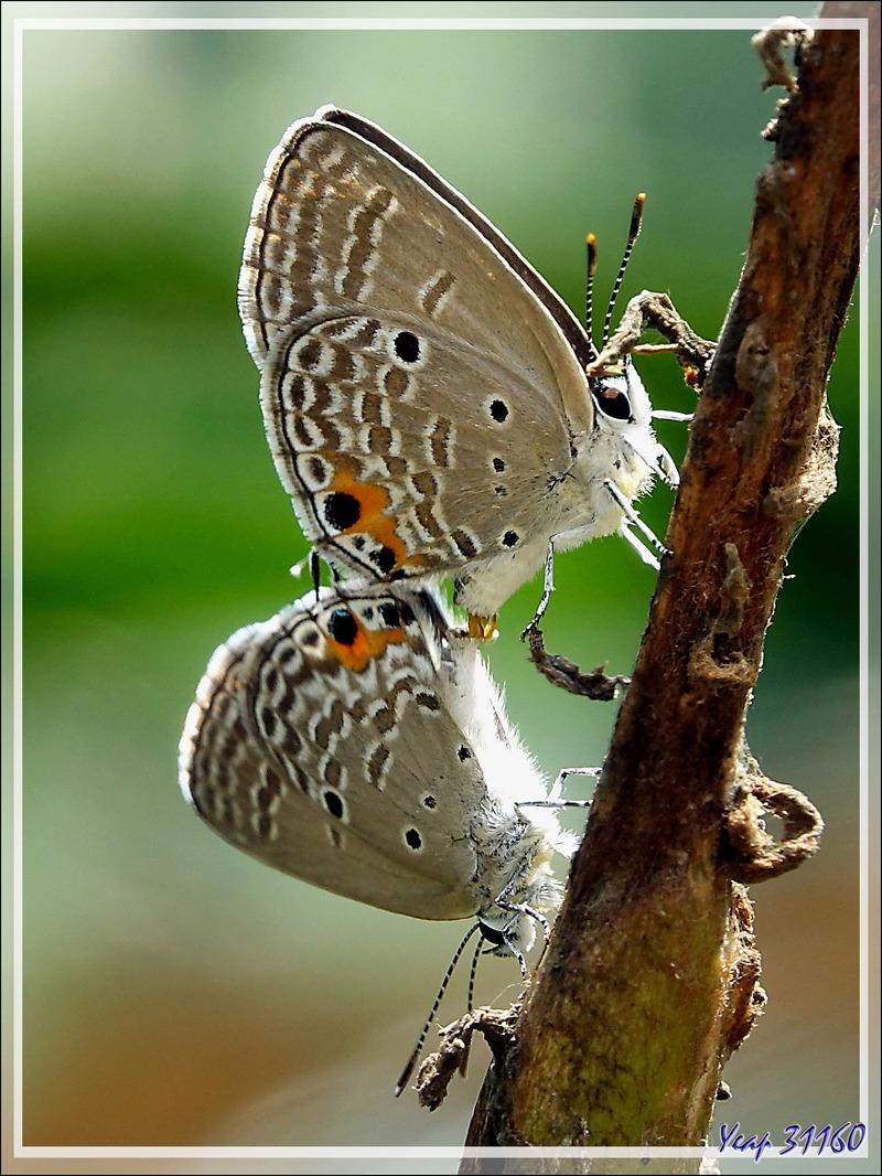 Papillons Cycads bleus in copula, Azurés des sagous, Cupidons des plaines, Plains cupids (Chilades pandava) - Nosy Sakatia - Madagascar
