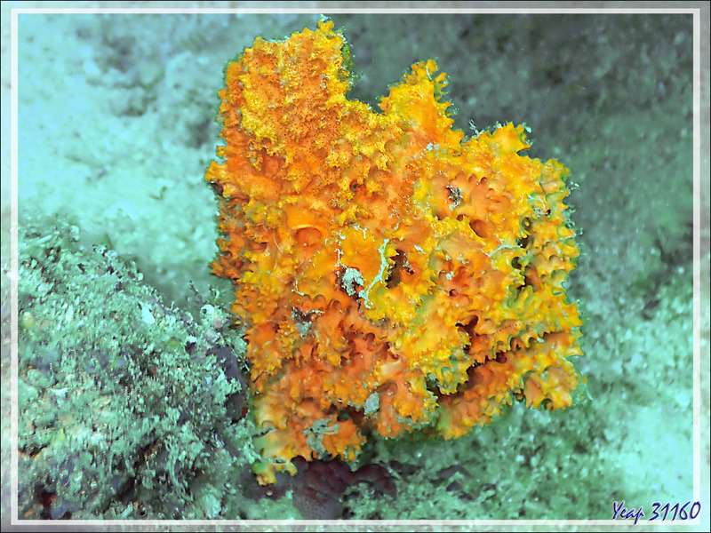 Éponge épineuse jaune-orange Acanthelle, Carter's fan sponge (Stylissa carteri ?) - Spot Sugar Man - Tsarabanjina - Mitsio - Madagascar
