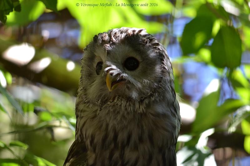 La Ménagerie, le Zoo du Jardin des Plantes : Chouette de l'Oural