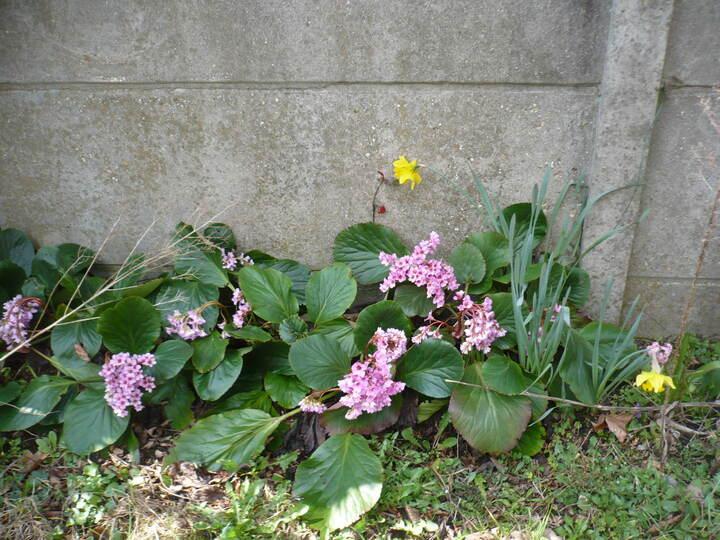 fleurs de savetier