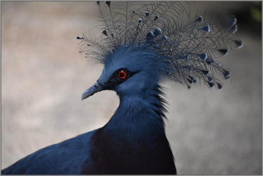 pigeon couronné de Victoria
