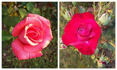 Roses - 4 juillet 2010