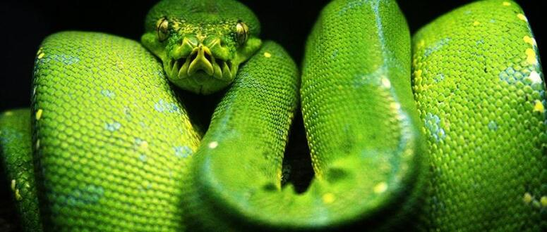 Reptiles:  Le secret du boa : non, il ne tue pas ses proies en les étouffant + vidéo