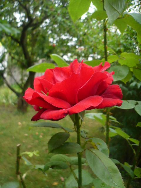 les hommes aussi naissent dans les roses !