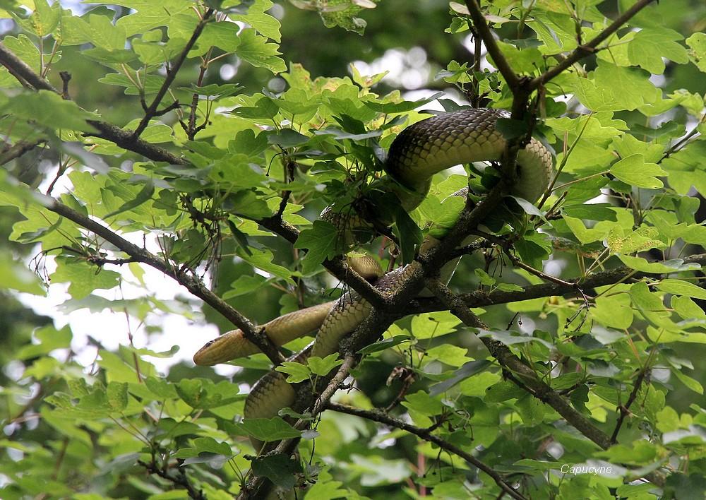 Dame couleuvre sur un arbre perchée...