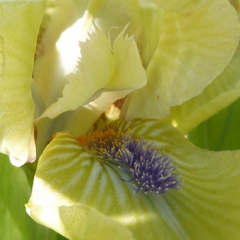 Iris de rocaille Djinn...