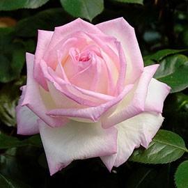 rosier-princesse-demonaco.jpg